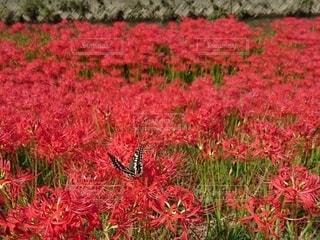 彼岸花と蝶の写真・画像素材[2583061]