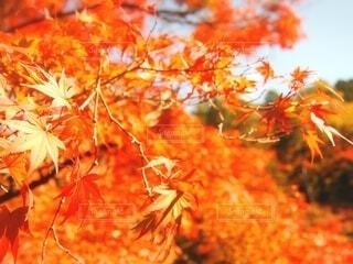 秋の紅葉の写真・画像素材[3759619]