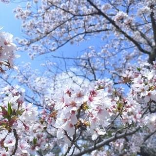 春の桜の写真・画像素材[4298951]