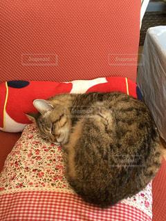 猫,動物,屋内,かわいい,ペット,寝る,人物,座布団,ネコ,ネコ科の動物