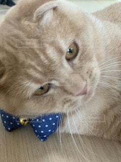 猫,動物,ペット,子猫,人物,スコティッシュホールド,ネコ,首のリボン