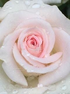 雨に濡れる薔薇の写真・画像素材[3338956]