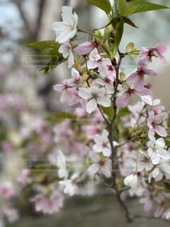 近所の桜の写真・画像素材[4303242]