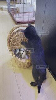 黒猫,保護猫,追い出し,カゴが大好き,籠乗っ取り,ソラくん,籠大人気