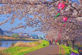 空,花,春,桜,屋外,青空,花見,鮮やか,草,樹木,河川敷,カラー