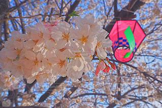 自然,花,春,花見,鮮やか,樹木,イベント,カラー,草木,桜の花,さくら,ブロッサム