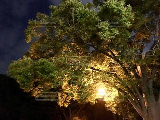 大木のライトアップの写真・画像素材[2652498]