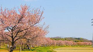 空,花,桜,ピンク,桜並木,美しい,樹木,幸せ,埼玉,のどか,日中,さくら,ブロッサム,北浅羽桜堤公園