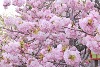 八重桜の写真・画像素材[3068500]