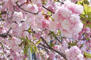 桜餅の写真・画像素材[3068501]