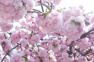 もこもこ八重桜の写真・画像素材[3068503]
