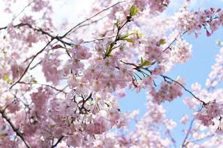 青空に桜の写真・画像素材[3068502]
