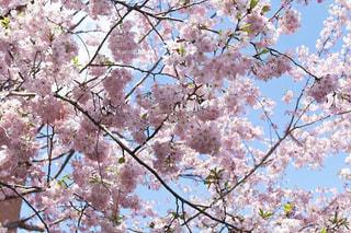 桜の写真・画像素材[3068507]