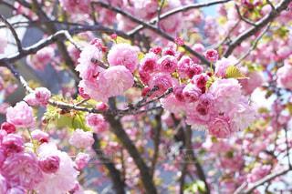 つぼみが可愛い八重桜の写真・画像素材[3068504]