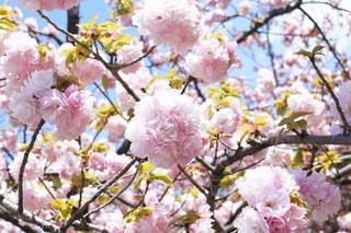まぁるい八重桜の写真・画像素材[3068505]