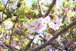 新緑と桜の写真・画像素材[3068506]
