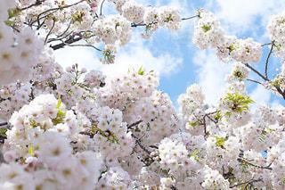 満開の八重桜の写真・画像素材[3068509]