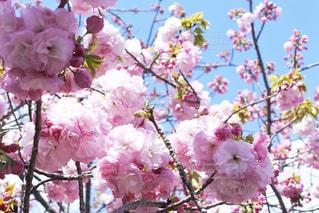 八重桜クローズアップの写真・画像素材[3068510]