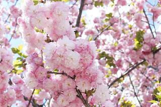もこもこ大迫力の八重桜の写真・画像素材[3068511]