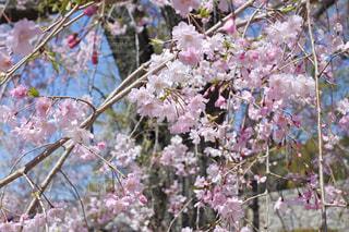 枝垂れ桜の写真・画像素材[3068512]