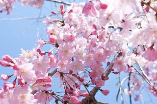 青空に咲くの写真・画像素材[3068518]