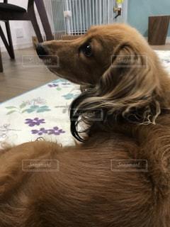 カメラを見ている茶色と白の犬の写真・画像素材[2701867]