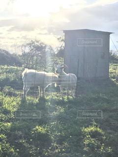 草原の上に立つヤギの親子の写真・画像素材[2885961]