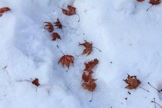 雪と紅葉の写真・画像素材[2614781]