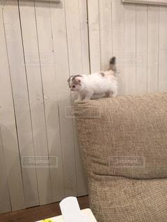 猫,動物,白,ふわふわ,ペット,子猫,仔猫,人物,可愛い,ネコ,よちよち,ヨチヨチ