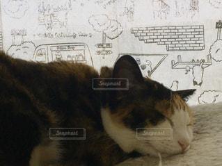 猫,動物,ペット,人物,お昼寝,三毛猫,ネコ