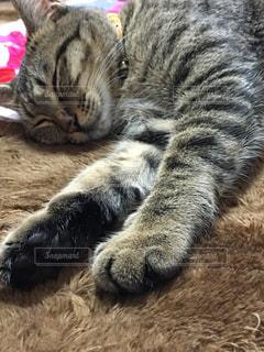 猫,動物,ペット,寝る,人物,肉球,ネコ