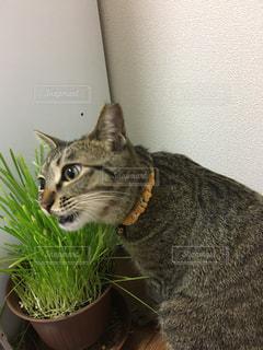 猫,動物,かわいい,ペット,人物,食べる,おいしい,ムシャムシャ,ネコ,猫草,ねこ草,ガジガジ,ネコ草
