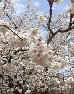 花,春,屋外,ピンク,かわいい,青空,満開,樹木,可愛い,ピンク色,弘前城,桜の花,さくら,ブルーム,ブロッサム