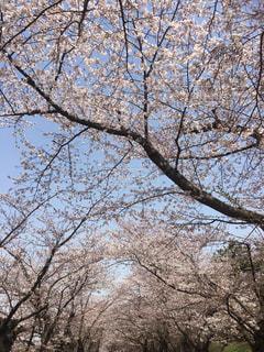 風景,空,公園,春,桜,屋外,景色,サクラ,満開,樹木,道,トンネル,通り,弘前城,草木,桜の花,日中,さくら,街道,ブロッサム