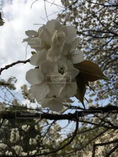 空,花,春,桜,屋外,白,青空,サクラ,白い,樹木,草木,桜の花,さくら,ブルーム,ブロッサム,フローラ