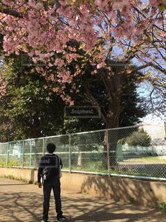 男性,1人,公園,花,春,桜,木,屋外,ピンク,緑,晴れ,後ろ姿,枝,葉っぱ,歩く,葉,影,サクラ,木々,樹木,外,立つ,地面,樹,ピンク色,日中,緑色,さくら,フェイス