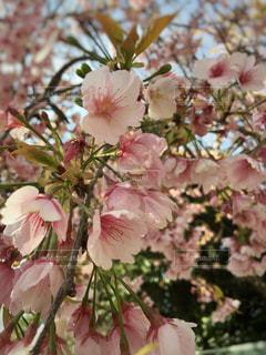 風景,空,花,春,桜,屋外,ピンク,枝,景色,サクラ,満開,背景,たくさん,ピンク色,草木,桜の花,さくら,ブルーム,ブロッサム