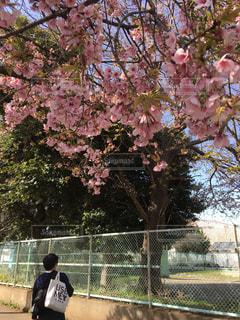 男性,1人,風景,花,桜,屋外,ピンク,後ろ姿,景色,サクラ,満開,背景,樹木,人物,フェンス,ピンク色,日中,さくら,フォトジェニック,ブロッサム,インスタ映え