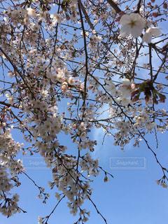 風景,空,花,春,桜,屋外,ピンク,晴れ,青空,晴天,青,枝,青い空,葉,景色,花びら,サクラ,背景,樹木,快晴,青い,ピンク色,青色,草木,花弁,桜の花,さくら,フォトジェニック,ブルーム,ブロッサム,インスタ映え