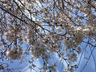 風景,空,花,春,桜,屋外,青空,枝,青い空,景色,サクラ,満開,背景,樹木,青い,草木,桜の花,さくら,フォトジェニック,ブルーム,ブロッサム,インスタ映え