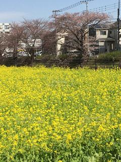 野原の黄色い花の写真・画像素材[3041710]