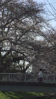 女性,1人,自然,風景,空,公園,春,桜,橋,屋外,枝,景色,サクラ,背景,樹木,人物,人,日中,さくら,渡る