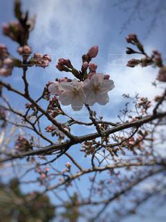 自然,風景,空,花,春,屋外,ピンク,雲,晴れ,晴天,枝,青い空,葉,景色,鮮やか,背景,樹木,つぼみ,蕾,ピンク色,草木,桜の花,さくら,ブルーム,ブロッサム