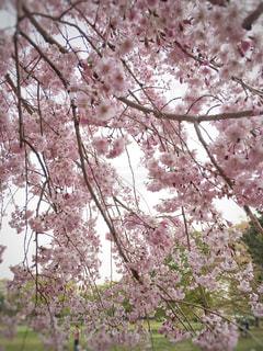 自然,風景,空,公園,花,春,桜,屋外,ピンク,かわいい,綺麗,枝,花見,景色,花びら,サクラ,満開,観光,背景,美しい,樹木,お花見,外,可愛い,広告,たくさん,素敵,ピンク色,枝垂れ桜,草木,花弁,桜の花,日中,枝垂れ,さくら,フォトジェニック,ブロッサム,インスタ映え