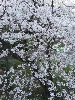 花,春,桜,撮影,サクラ,白い,ライトアップ,たくさん,角度,草木,見る,上から,さくら,ブルーム,ブロッサム