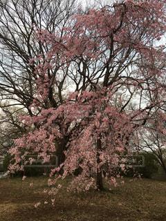 花,春,桜,屋外,夕方,サクラ,樹木,草木,桜の花,さくら,ブルーム,ブロッサム