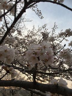 空,花,春,屋外,夕焼け,枝,夕方,景色,樹木,草木,桜の花,日中,さくら,ブルーム,ブロッサム