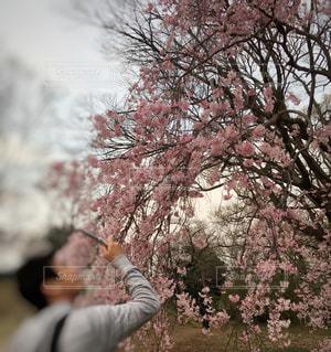男性,1人,公園,花,屋外,樹木,人,草木,桜の花,さくら,ブロッサム