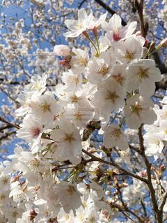 自然,風景,公園,花,春,桜,ピンク,白,枝,景色,花びら,サクラ,満開,背景,広告,たくさん,素材,草木,花弁,桜の花,アイキャッチ,さくら,画像,フォトジェニック,ブルーム,チラシ,ブロッサム,インスタ映え