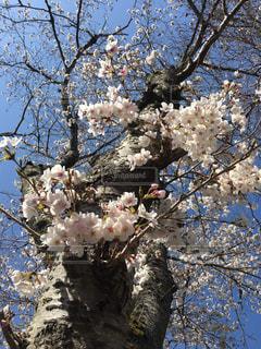風景,花,春,桜,木,ピンク,晴れ,枝,青い空,景色,サクラ,満開,木々,背景,見上げる,樹木,樹,ピンク色,草木,眺め,桜の花,下から,さくら,ブルーム,ブロッサム,見上げた,構成